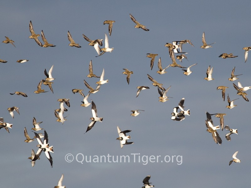 Golden plover and lapwing dance in the sunshine over Titchwell RSPB in North Norfolk
