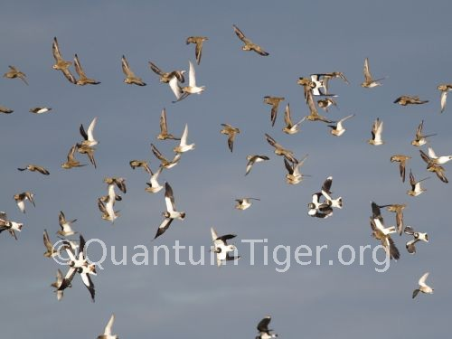 plover and lapwing
