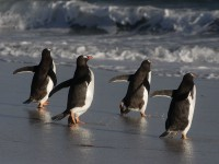Gentoo Penguins Waddle