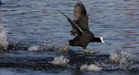 Running Coot