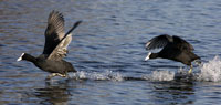 Fighting Coots