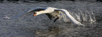 Swan running on water